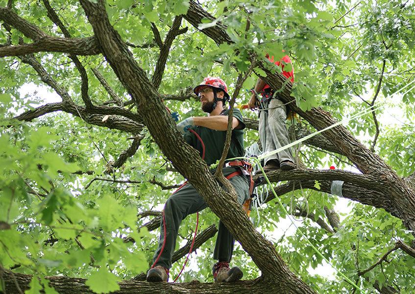 Спил и кронирование дерева